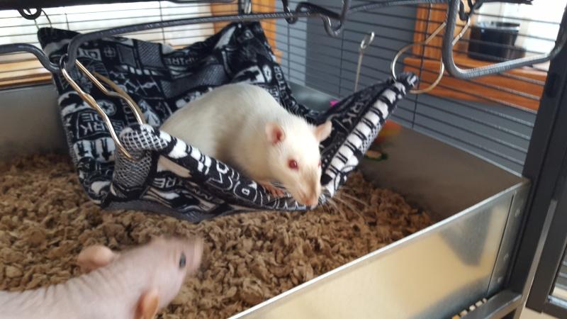 La cage Critter Nation de mes rattes . 20160320