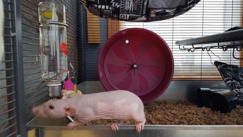 La cage Critter Nation de mes rattes . 20160321