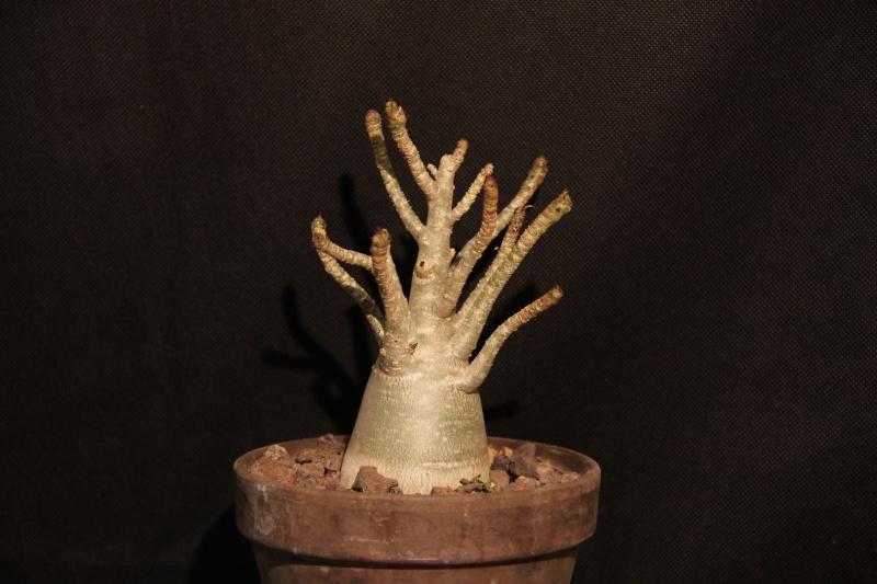 Adenium arabicum - Page 4 Img_5411