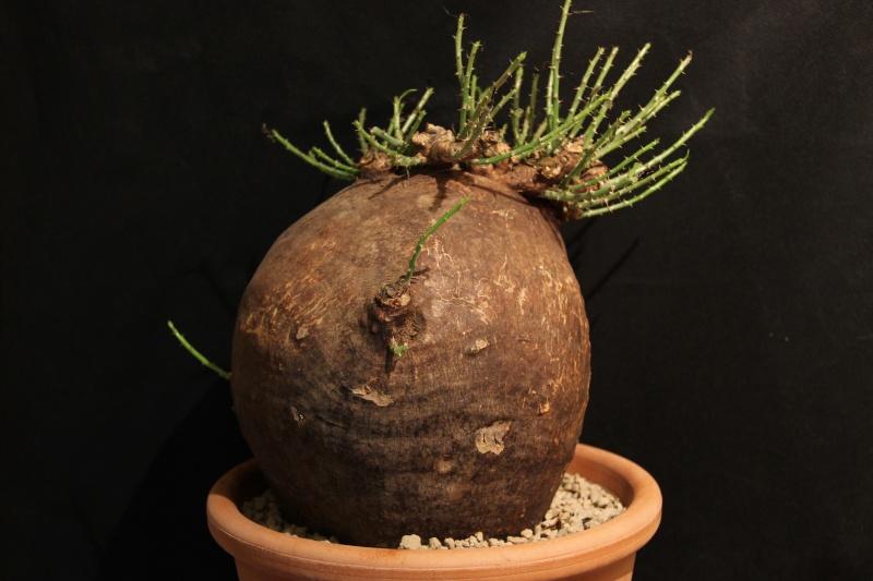 Pachypodium bispinosum Img_5428