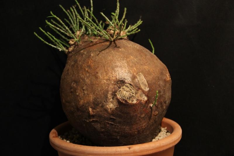 Pachypodium bispinosum Img_5430