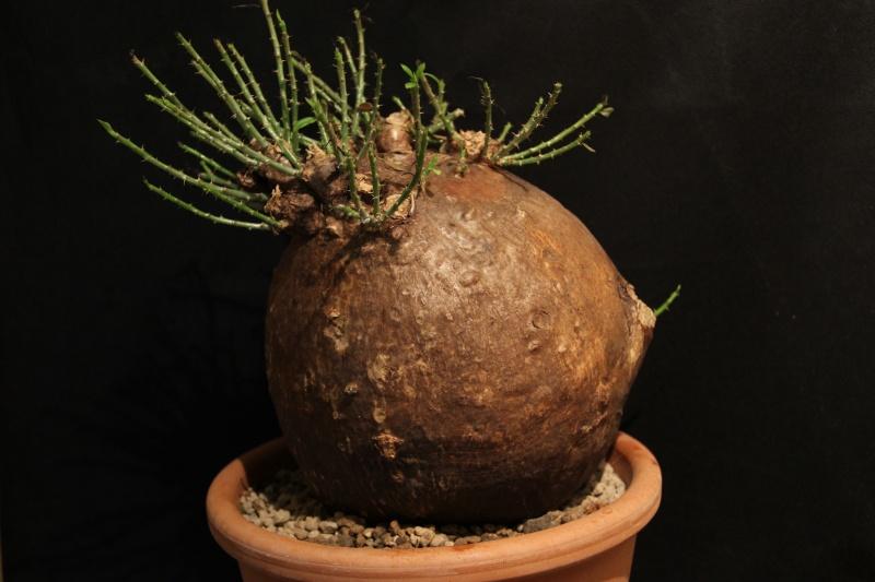 Pachypodium bispinosum Img_5431