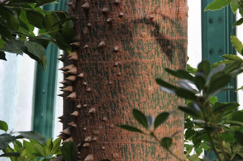 Le beau tronc de mon Chorisia speciosa  - Page 3 Img_5510