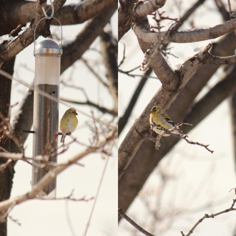 Chardonnerets plumage  Image113