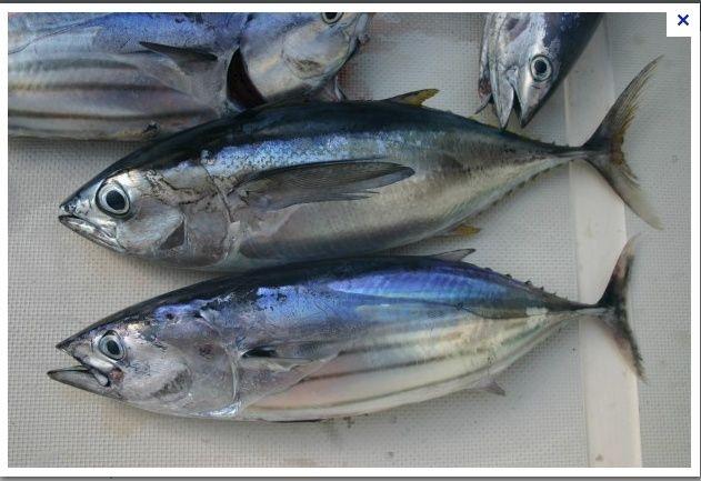 [Maroc/Pêche] Quel est ce poisson ? Bonite10