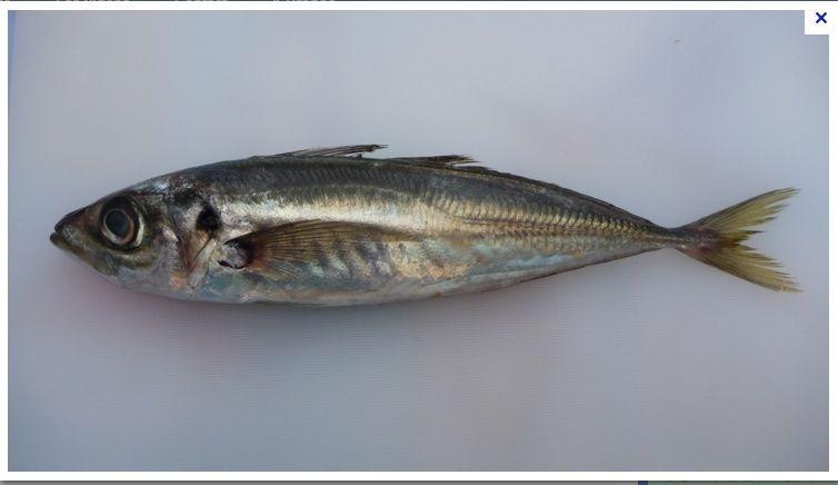 [Maroc/Pêche] Quel est ce poisson ? Chinch10