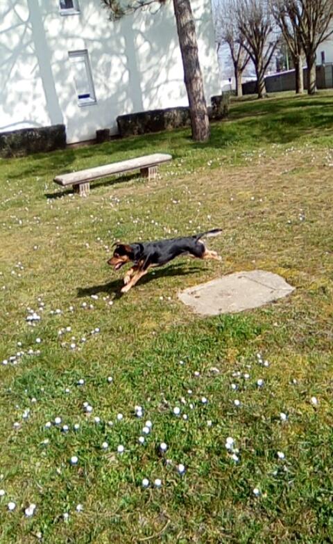 JULIO    chiot tricolore Snapch22