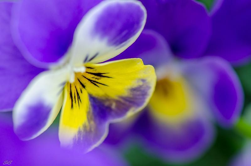 Une fleur par jour.... - Page 4 Pensye10