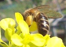 Ruche écologique et barrettes - Page 2 Pollen10