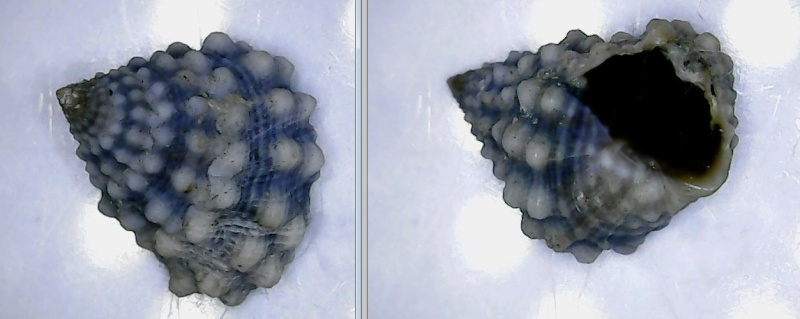 Echinolittorina tuberculata - (Menke, 1828) A110