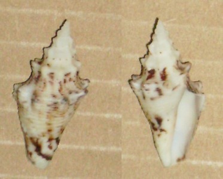 Lobatus gigas ( juvénile) Blanc111