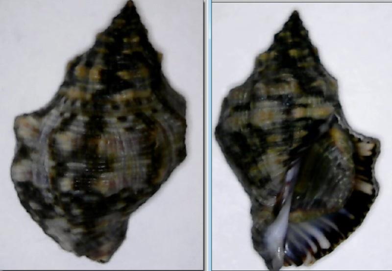 Stramonita rustica - (Lamarck, 1822) C110