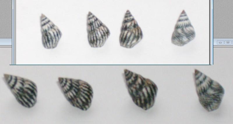Echinolittorina angustior - (Mörch, 1876)  Gosier10