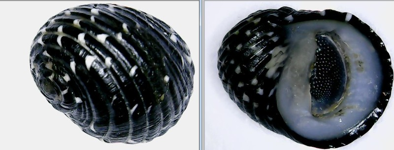 Nerita tessellata - Gmelin, 1791 Nerita10