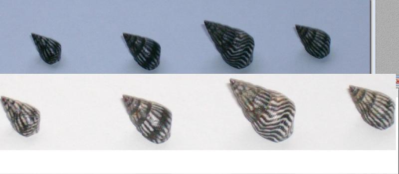 Echinolittorina angustior - (Mörch, 1876)  Sainte11