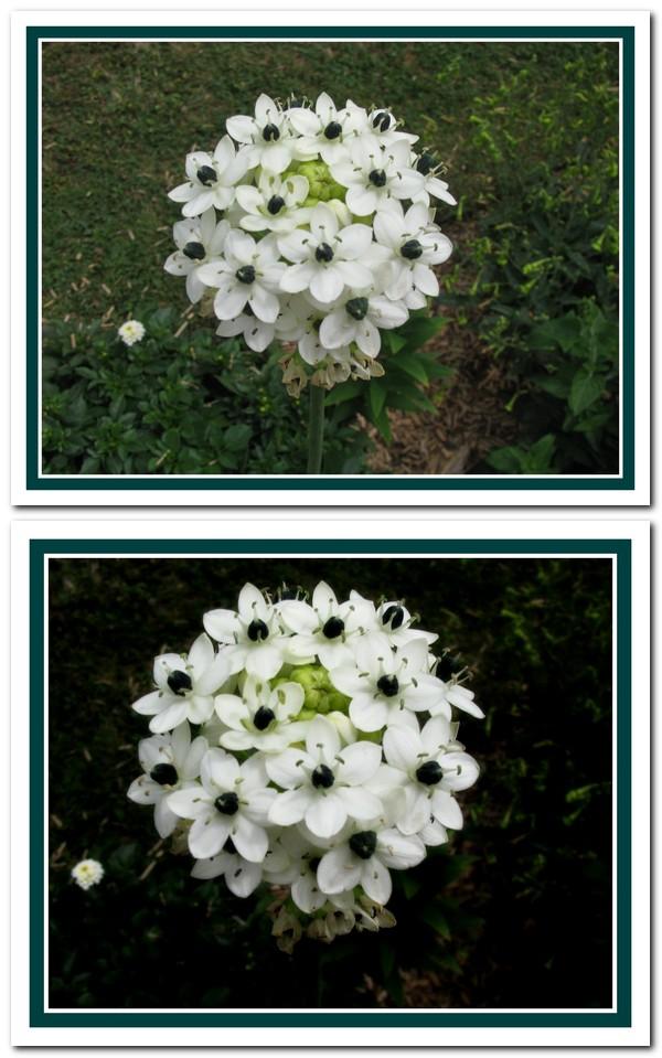 Arméria bulbe (floralies d'Orléans) Ameria10