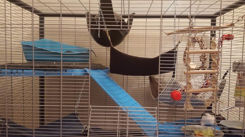 Aménager une cage pour 3 rats en bonne santé et 1 rat un peu handicapé 20160210