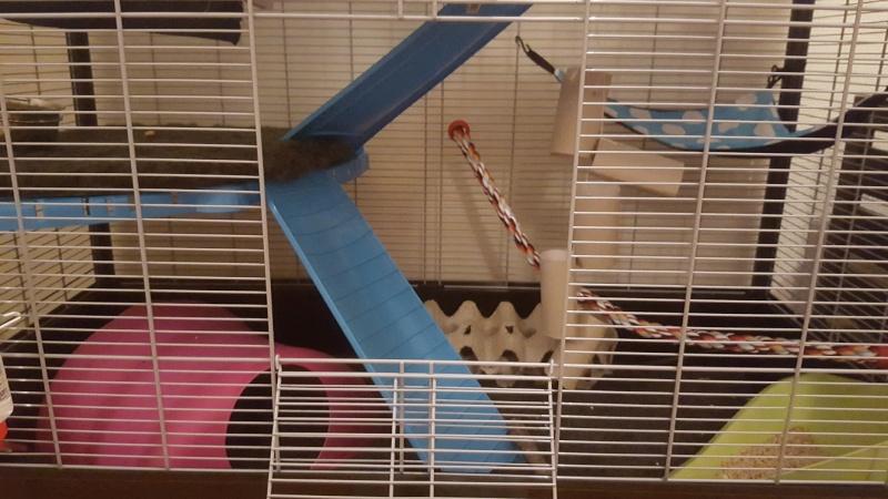 Aménager une cage pour 3 rats en bonne santé et 1 rat un peu handicapé 20160211