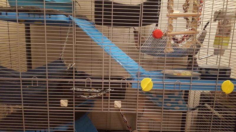 Aménager une cage pour 3 rats en bonne santé et 1 rat un peu handicapé 20160212