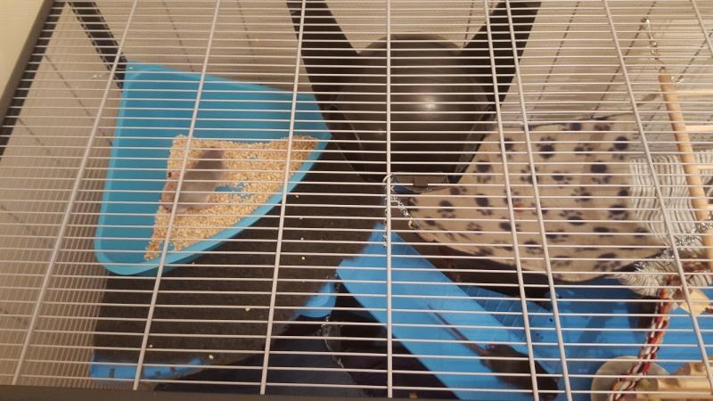 Aménager une cage pour 3 rats en bonne santé et 1 rat un peu handicapé 20160213