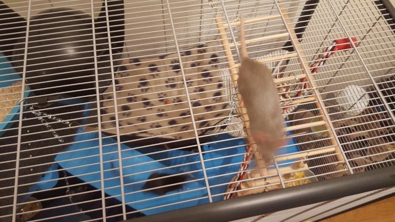 Aménager une cage pour 3 rats en bonne santé et 1 rat un peu handicapé 20160214