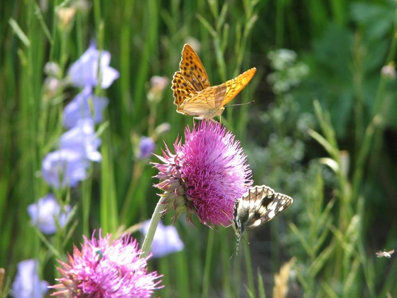 Photos diverses d'abeilles  Img_0610