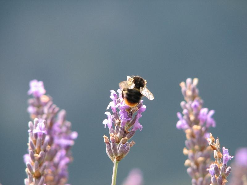 Photos diverses d'abeilles  Img_0910