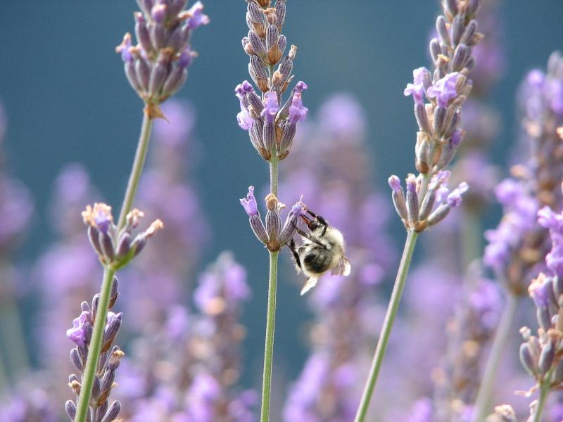 Photos diverses d'abeilles  Img_0911