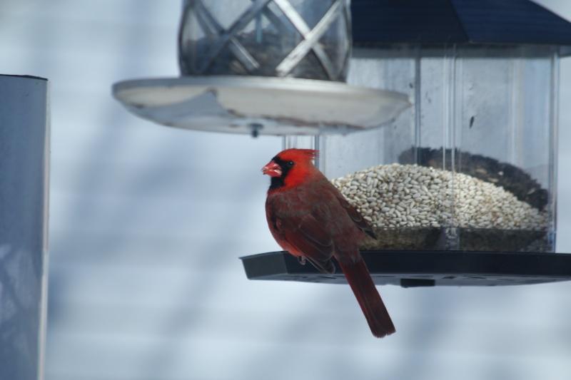 Yé tu beau le Cardinal!! Img_0313