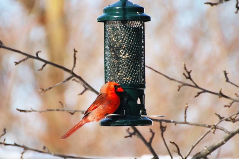 Cardinal Buster 😉 Belle_10