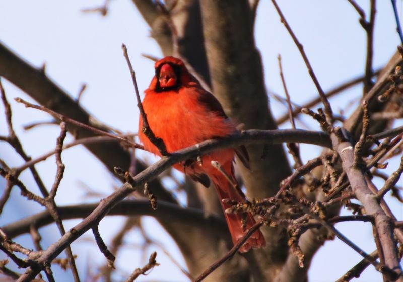 Cardinal rouge Superb10