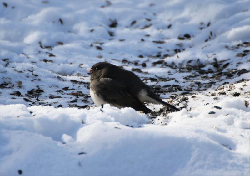 Junco ardoisé sur la neige Superb13