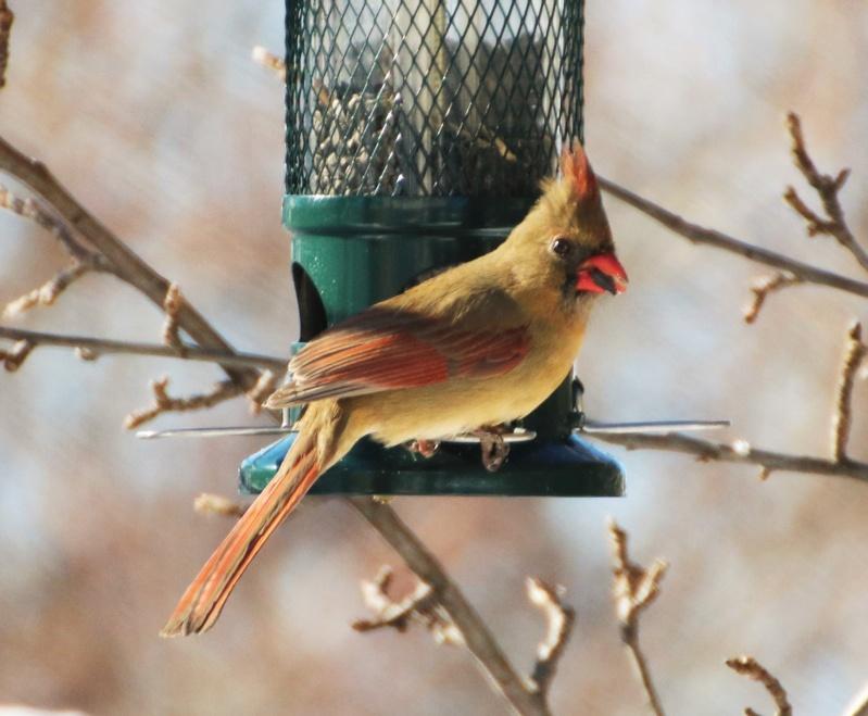 Cardinal Buster 😉 Superb21
