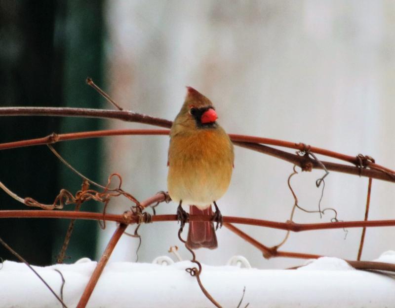 Mme cardinal Superb26