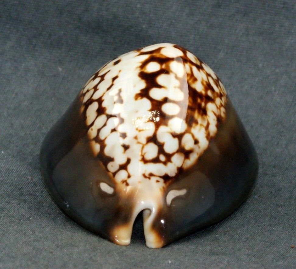Mauritia mauritiana albiflora - (Petrbok, 1932)  01010