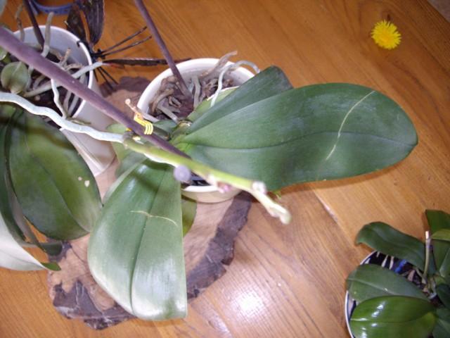 Orchidées et hoyas Imgp6510
