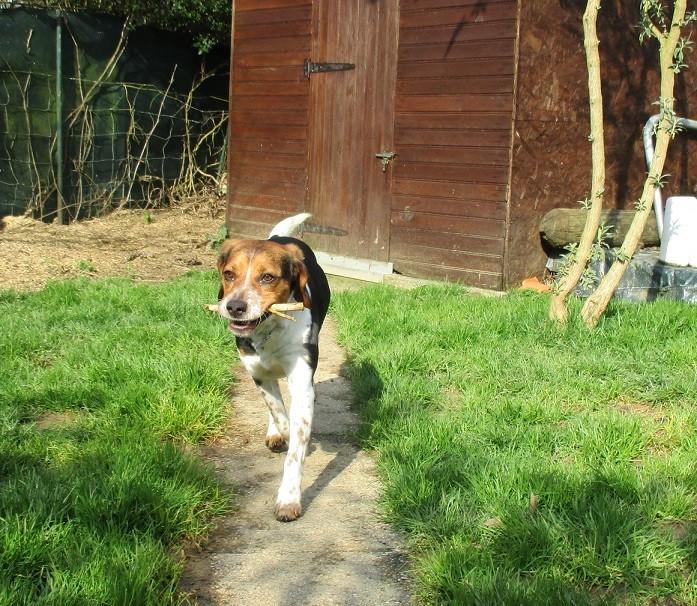 ELGA  beagle née 01/10/2014  adoptée par MARYLINE  ( 79 ) Img_0112