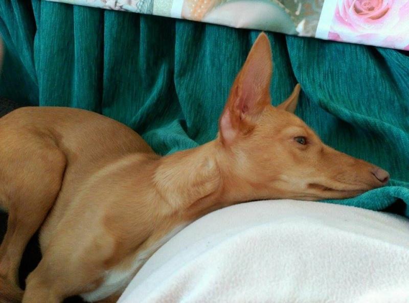 Jana - Podenca 7 mois - Dossier d'adoption en cours Jana110