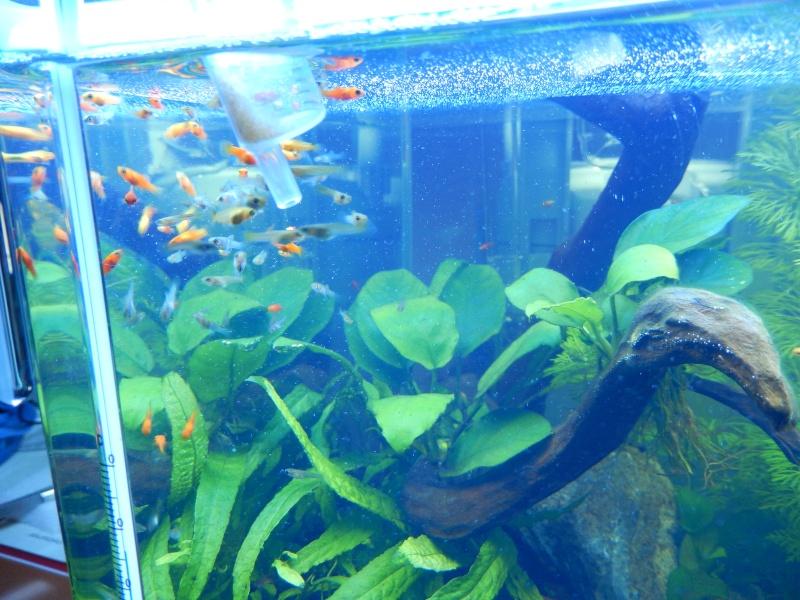 red cherry avec poissons alevins dans bac planté? Dscn0811