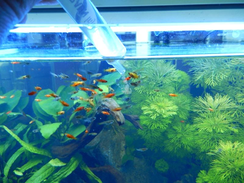 red cherry avec poissons alevins dans bac planté? Dscn0812