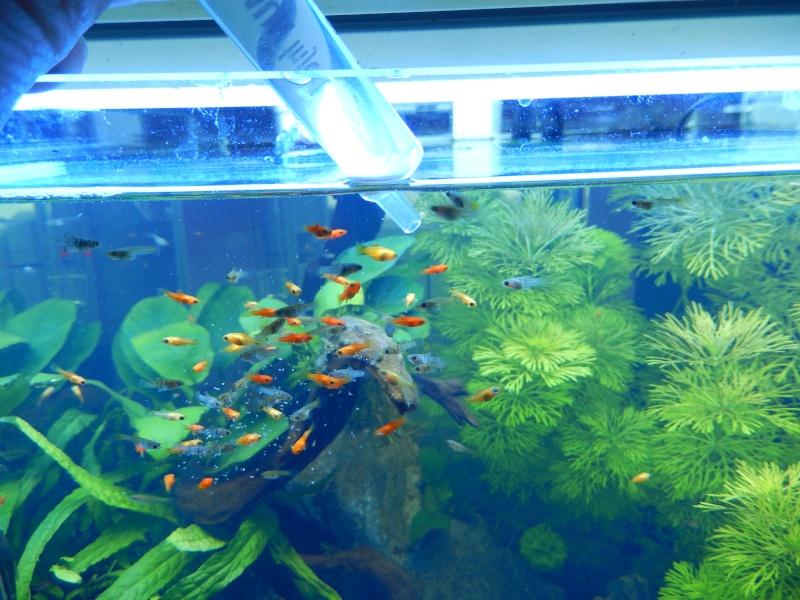red cherry avec poissons alevins dans bac planté? Dscn0813