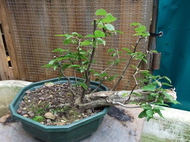 Mes bonsaï d'extérieur - Page 2 Dscf2110