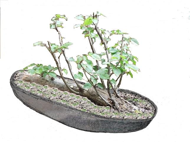Mes bonsaï d'extérieur - Page 2 Dscf2111