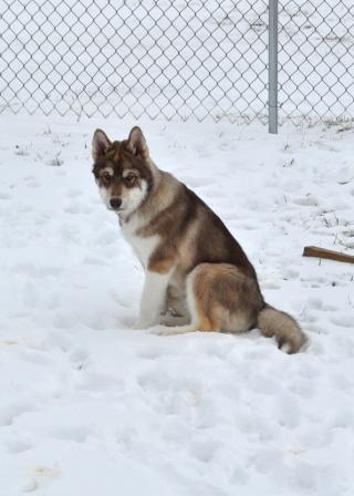 Husky Puppy Colors?? Suka_023