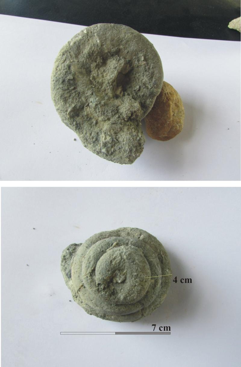 détermination de fossile Gastyr10