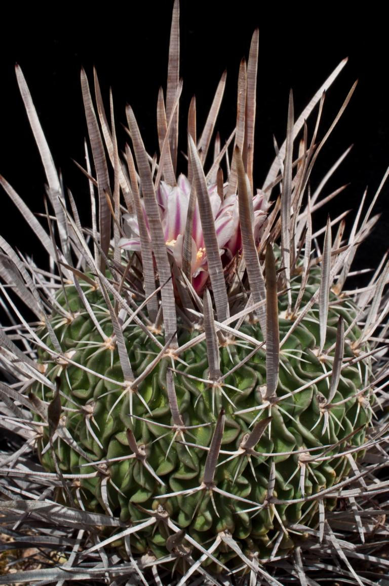Echinofossulocactus phyllacanthus K1024_41