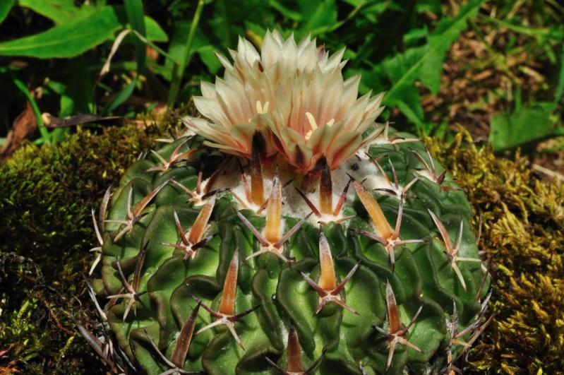 Echinofossulocactus tricuspidatus K1024_42