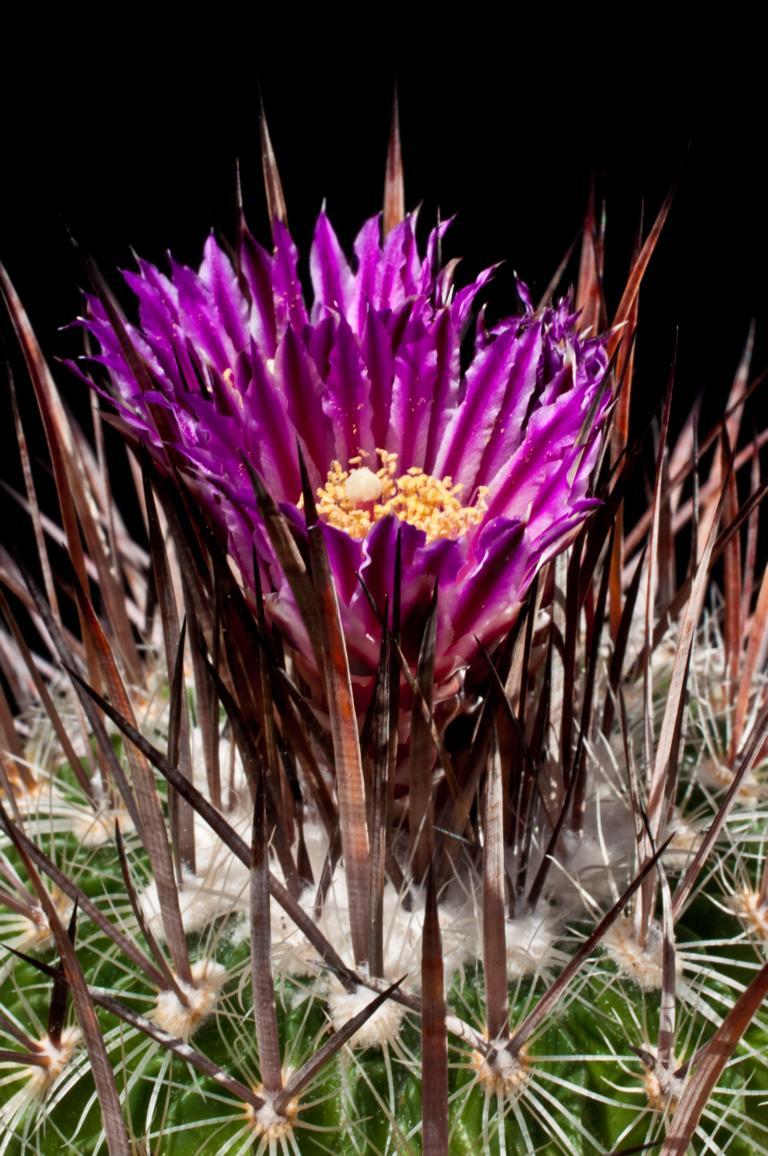 Echinofossulocactus lloydii K1024_46