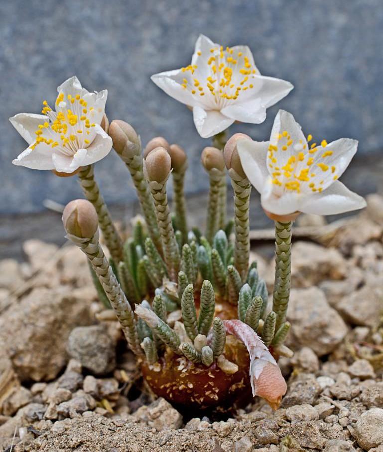Avonia quinaria ssp. alstonii K1024_57