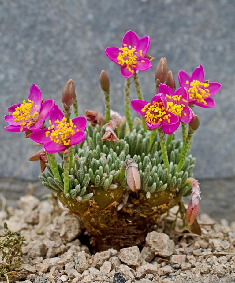 Avonia quinaria ssp. alstonii K1024_58